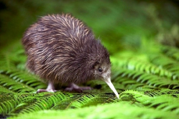Hai biểu tượng đầy ý nghĩa của New Zealand